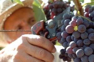 AGRICOLTURA: ITALIA, OTTIME PREVISIONI PER VENDEMMIA